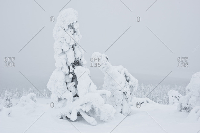 Ice covered firs in Lapland, Finland