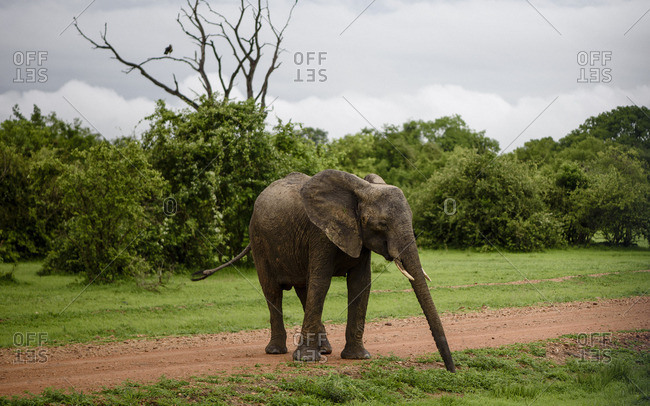 A bull elephant in the South Luangwa National Park in Zambia
