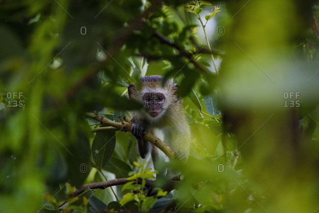 A curious little monkey in the South Luangwa National Park in Zambia