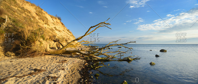Tree roots on the beach shore in Mecklenburg-Western Pomerania, Germany