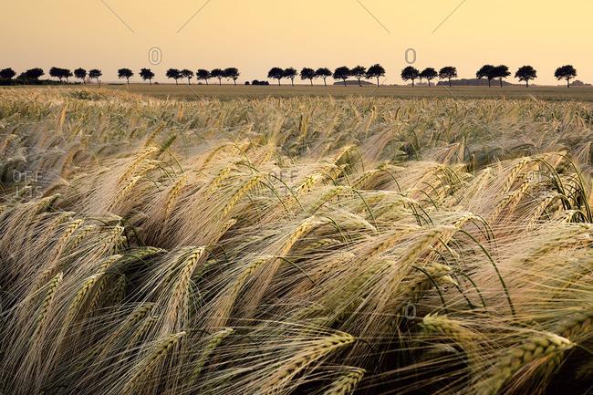 Ears of a grain field in the evening sunlight