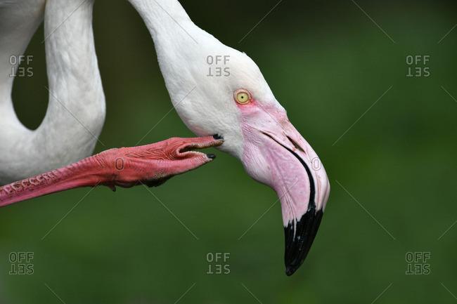 Greater flamingo (Phoenicopterus ruber roseus), Germany
