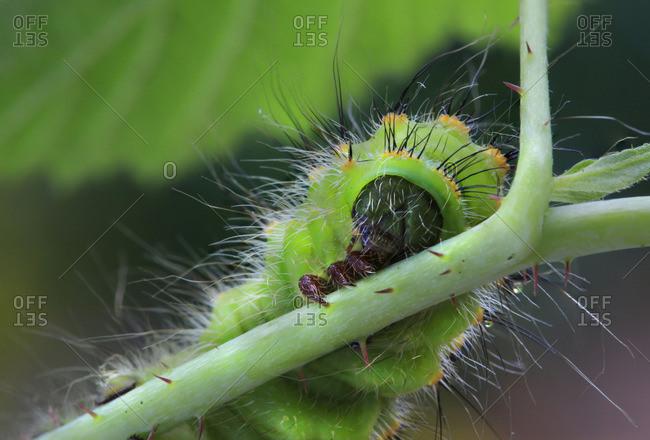 Caterpillar, emperor moth, Saturnia pavonia, Europe