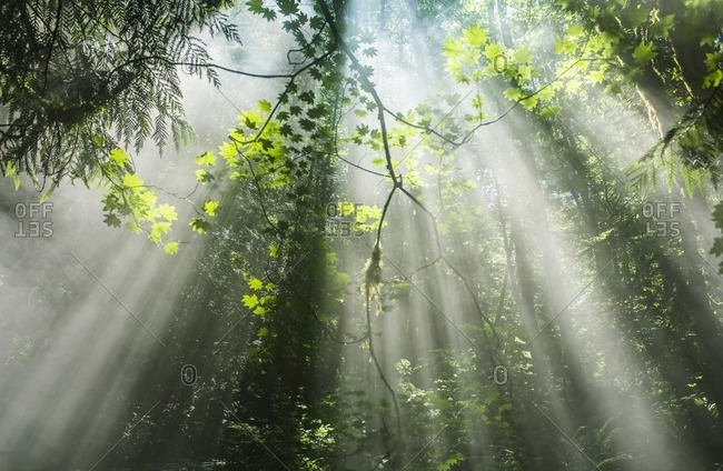 Scenic view of sunrays streaming through trees in forest