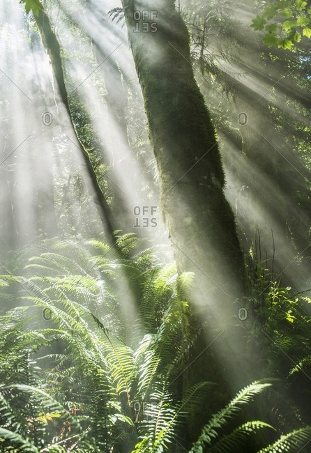 Scenic view of sunbeams streaming through trees in forest
