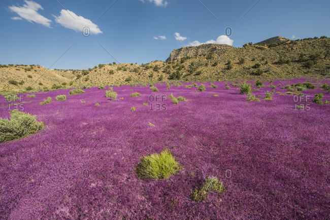 View of purple field in Kanab on sunny day