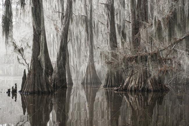 Trees growing in Caddo lake