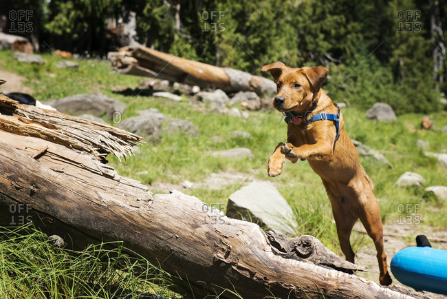 Brown dog jumping over log on field