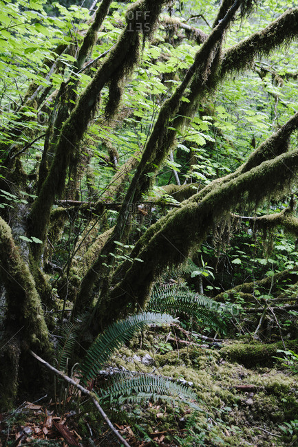 Trees growing in forest at Olympic National Park