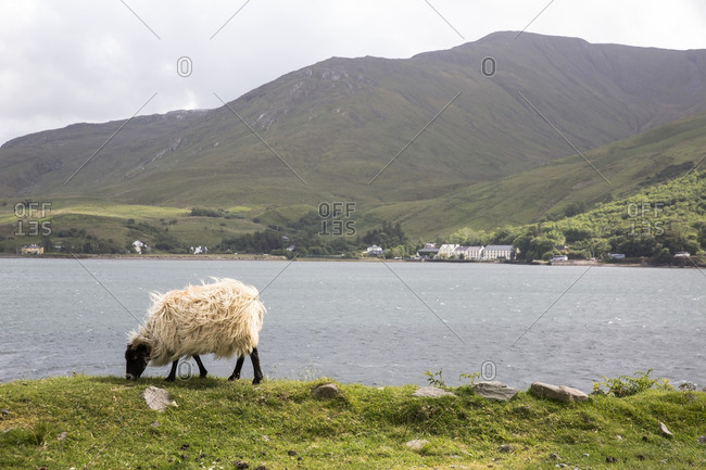 Sheep grazing on grassy field by river