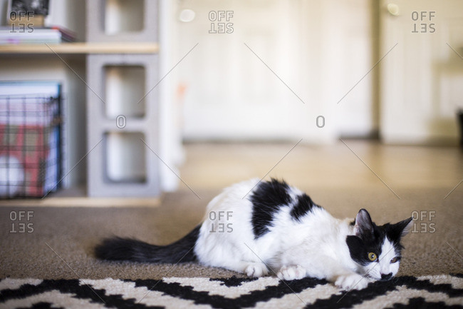 Cat lying by black and white rug