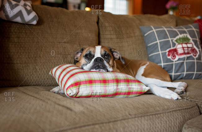 Dog with head on pillow on couch