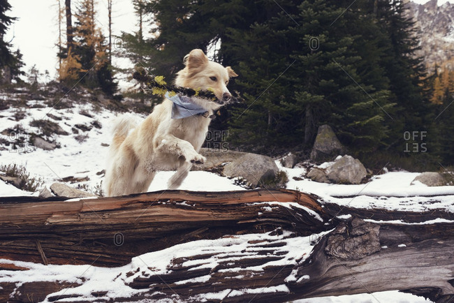 Dog with stick jumping over fallen tree trunk in forest during winter