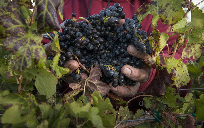 Midsection of farmer holding bunch of grapes in vineyard