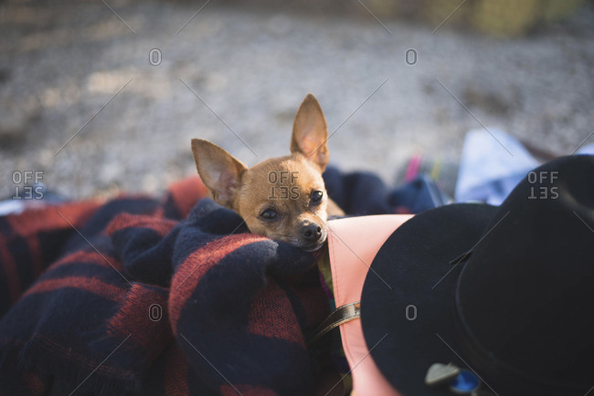 Portrait of Chihuahua wrapped in blanket