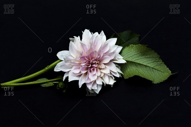 Light pink dahlia on a black background