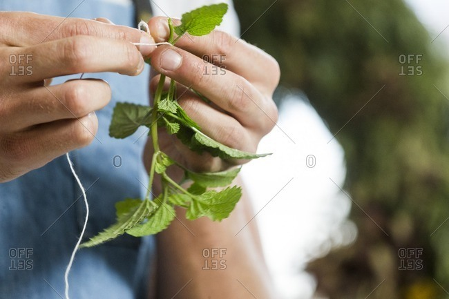 Person's hands tying a sprig of fresh mint