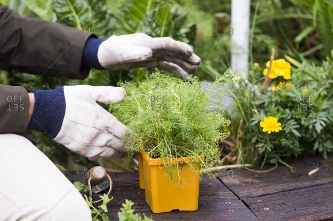 Gardener with gloves working with potted herb