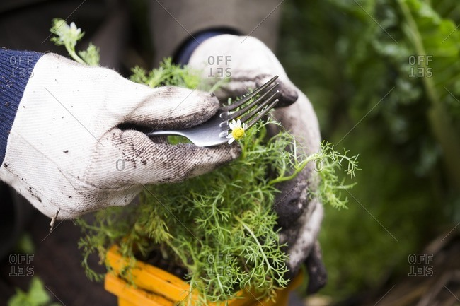 Gardener trimming chamomile plant