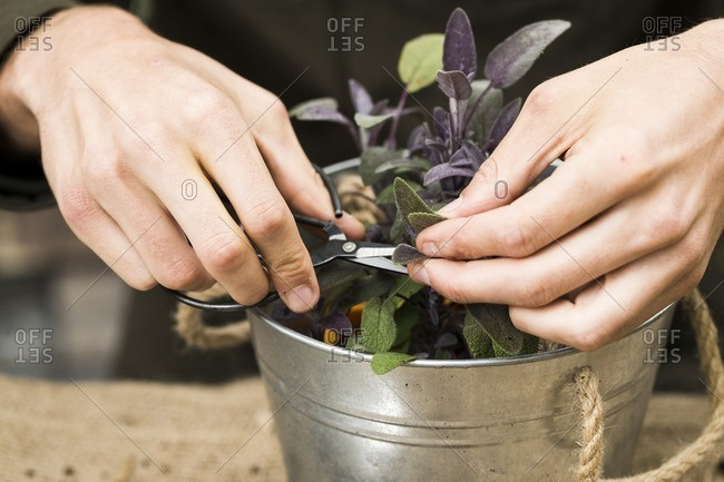 Man trimming purple sage plant