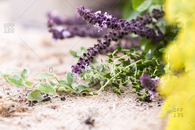 Close-up of herb with purple flowers on burlap