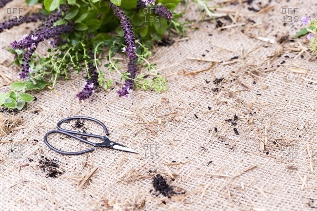 Herb with purple flowers on burlap with clippers
