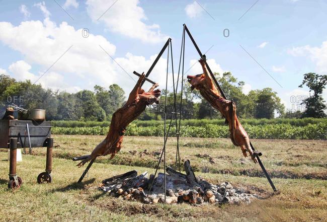 Pig roast on a farm outdoors