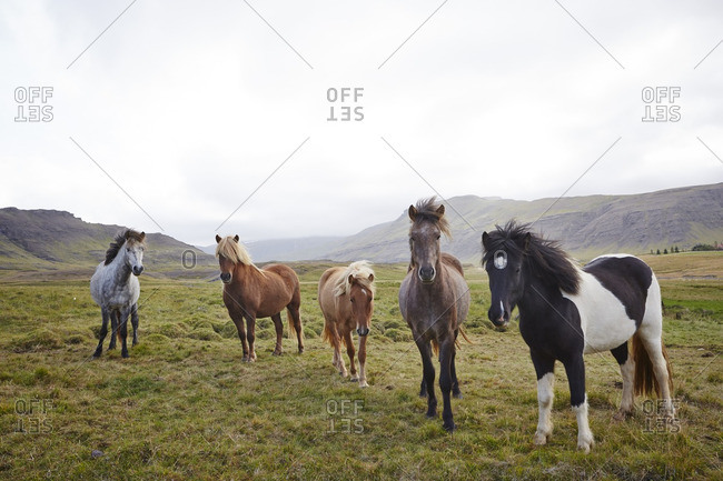 Wild horses standing in a field in Iceland