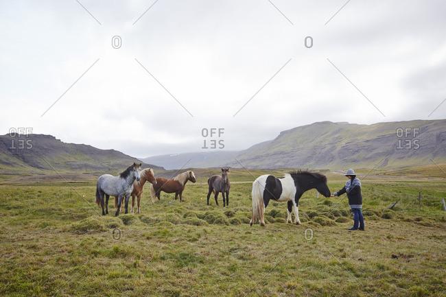Woman feeding wild horses in Iceland
