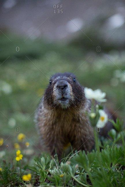 Close up of a gopher in a field