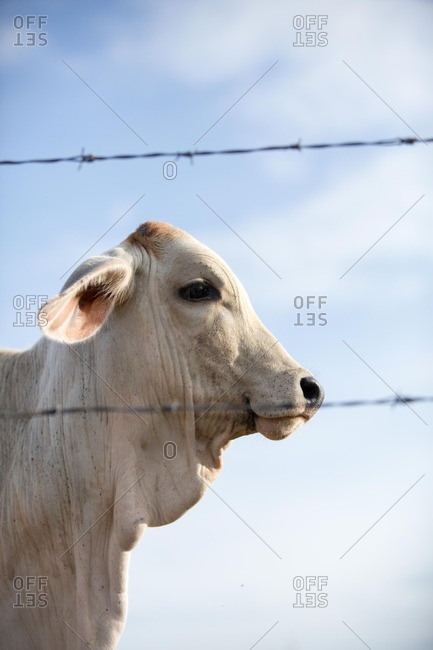 American Brahman cow - Offset Collection