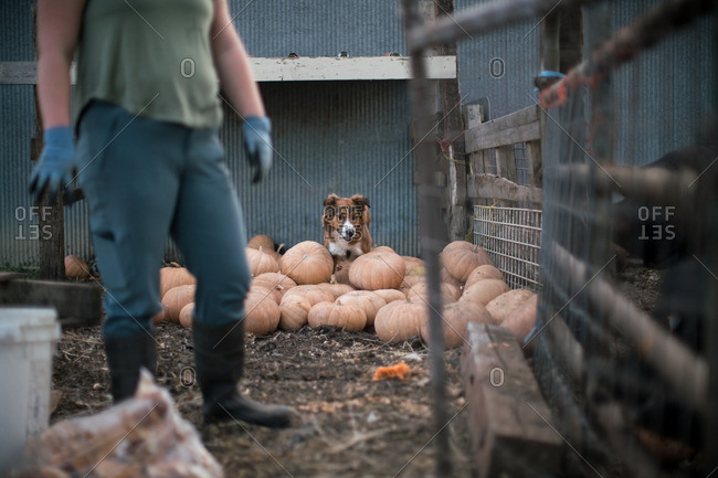Dog sitting in a pile of pumpkins