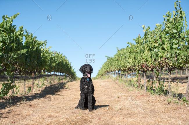 Black dog sitting in a vineyard