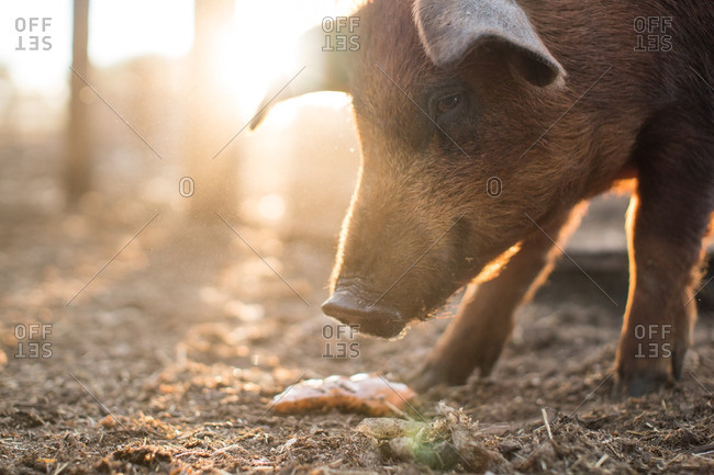 Pig eating scraps - Offset Collection