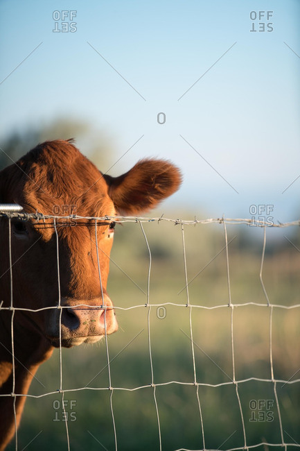 Brown cow standing by a wire fence