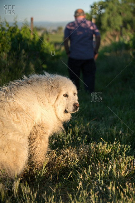 Large fluffy white dog looking back outside