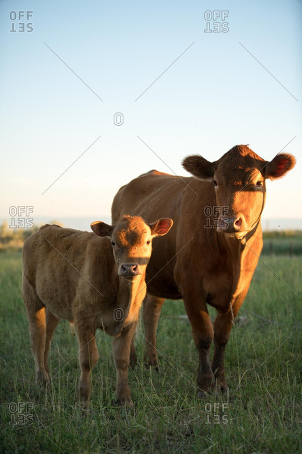 Brown cow standing with a calf