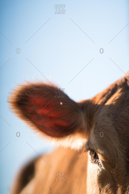 Close up of a cow's ear
