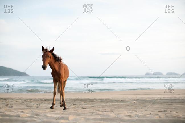 Brown horse on a beach