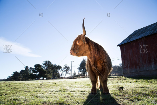 A cow standing in farmland