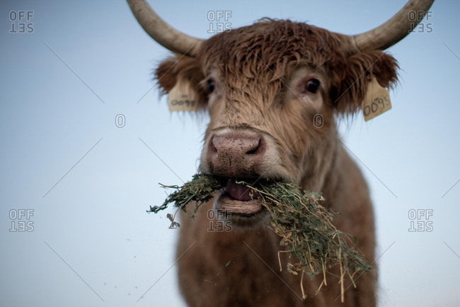 A cow eating in close up