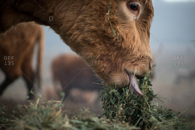 A cow eating plants in close up