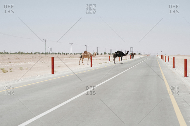 Camels crossing country road amidst desert against clear sky