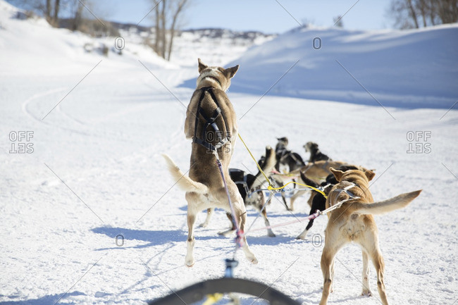 Rear view of dogsledding on snow covered field