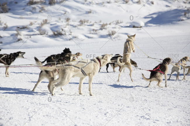 Dogsledding on snow covered field