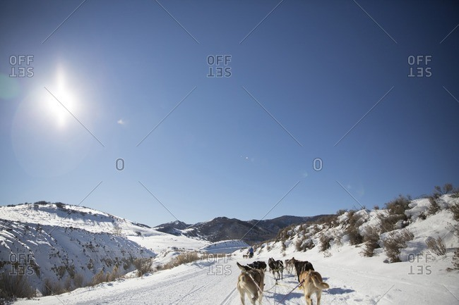 Rear view of sled dogs walking on snow covered field
