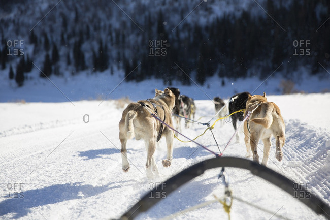 Rear view of sled dogs pulling sleigh on snow covered landscape