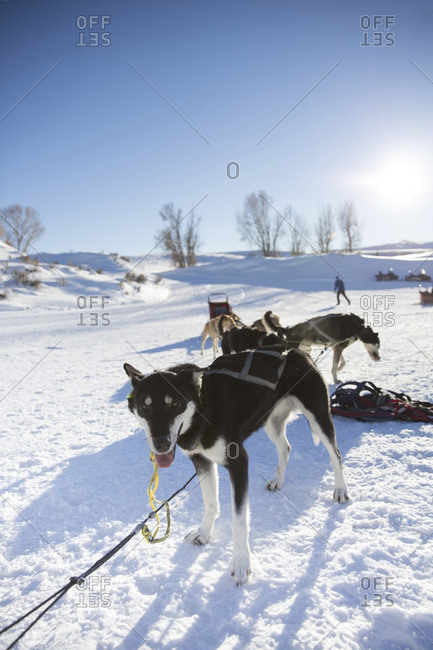 Sled dogs relaxing on snowy field against clear sky