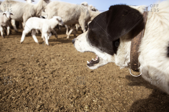 Dog barking while sheep walking on field in farm
