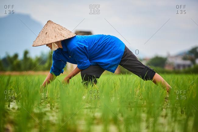 Rice farmers in a field